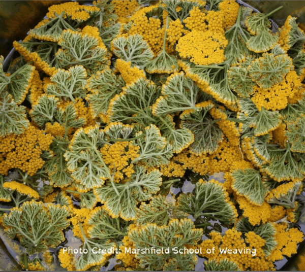 Dozens and dozens of yarrow flower heads, yellow on top, green underneath, submerged in a dye pot